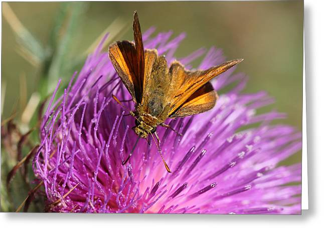 Greeting Card featuring the photograph Small Skipper - Thymelicus Sylvestris by Jivko Nakev