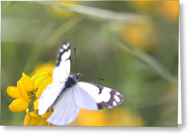 Greeting Card featuring the photograph Small White Butterfly On Yellow Flower by Belinda Greb