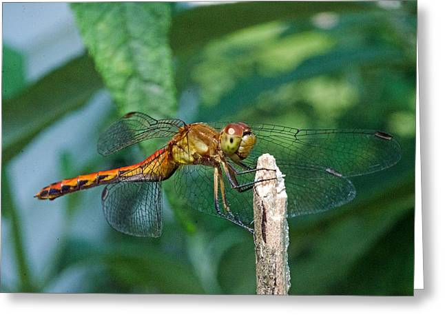 Smilin Dragonfly Greeting Card