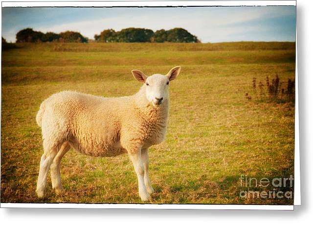 Smiling Sheep In Field Greeting Card by Natalie Kinnear