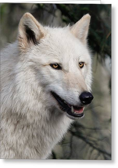 Smiling White Arctic Wolf Greeting Card
