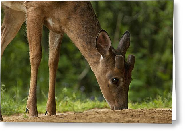 Smoky Mountain Deer Greeting Card by Andrew Soundarajan