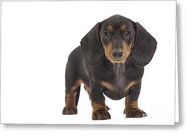 Smooth-haired Dachshund Greeting Card by Jean-Michel Labat
