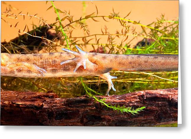 Smooth Or Common Newt  Greeting Card by Dirk Ercken