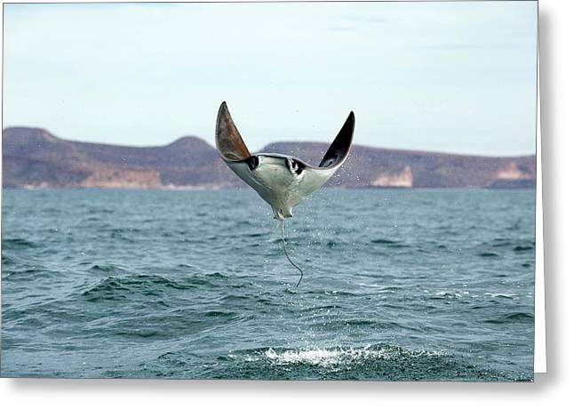 Smoothtail Mobula Ray Leaping Greeting Card by Christopher Swann