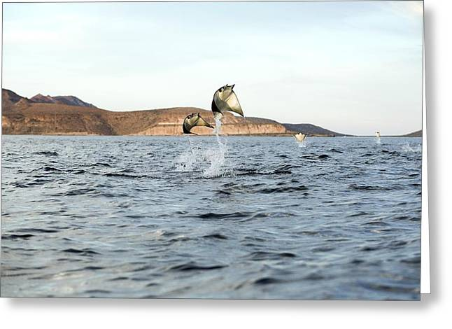 Smoothtail Mobula Rays Leaping Greeting Card by Christopher Swann
