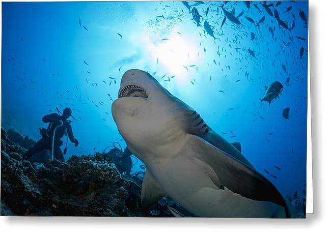 Snacking Bull Shark Greeting Card by Dave Fleetham