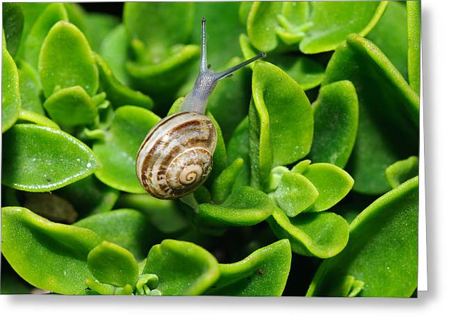 Snail Greeting Card by Ivelin Donchev