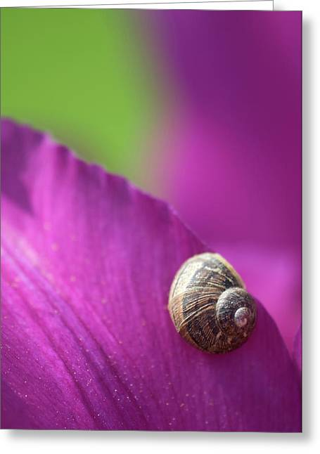 Snail On Tulip Petals Abstract Greeting Card by Nigel Downer