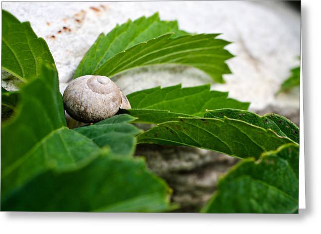 Snail Shell Greeting Card by Chase Taylor