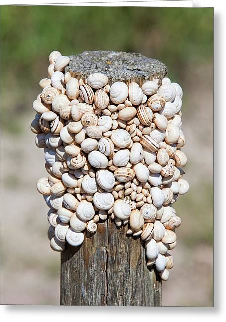 Snails On A Fence Post Greeting Card by Ashley Cooper
