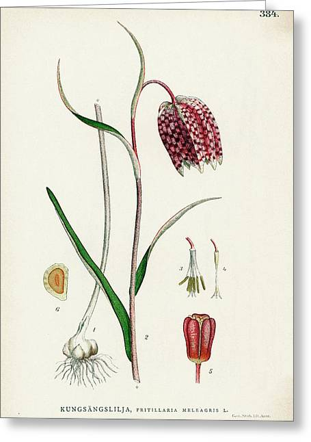 Snake's Head Fritillary Greeting Card by Natural History Museum, London