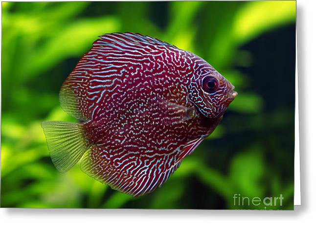Snakeskin Discus Fish Greeting Card