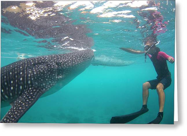 Snorkeler With A Whale Shark At Surface Greeting Card