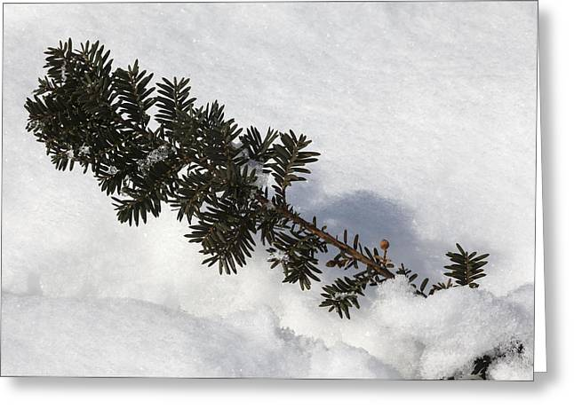 Snow And Pine Needles Greeting Card