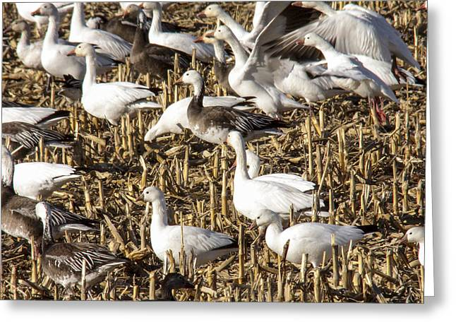 Snow And Ross's Geese Greeting Card by Jill Bell