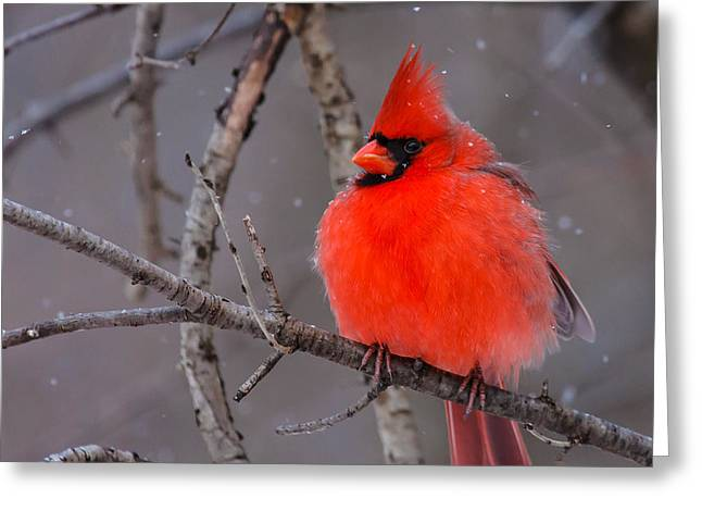 Snow Bird Greeting Card by James Marvin Phelps
