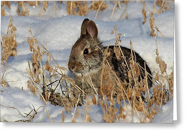 Snow Bunny Greeting Card by Penny Meyers