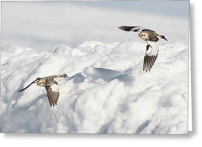Snow Buntings In Flight Greeting Card