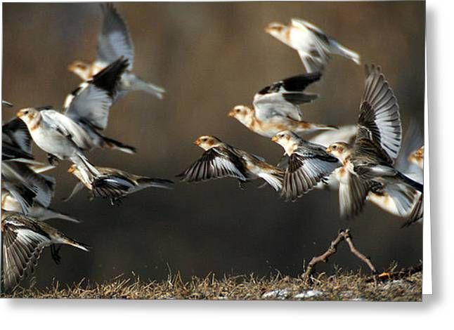 Snow Buntings Taking Flight Greeting Card