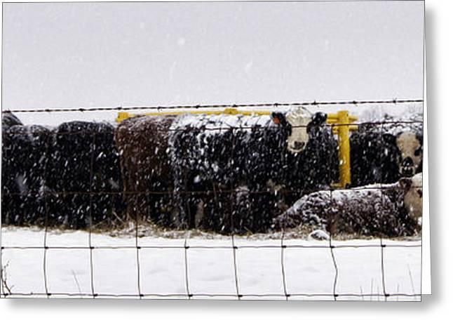 Snow Calves Greeting Card by Cricket Hackmann