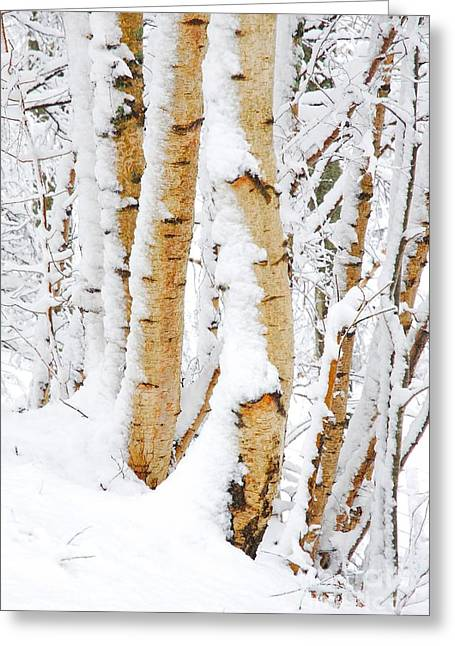 Snow Covered Birch Trees Greeting Card by John Kelly