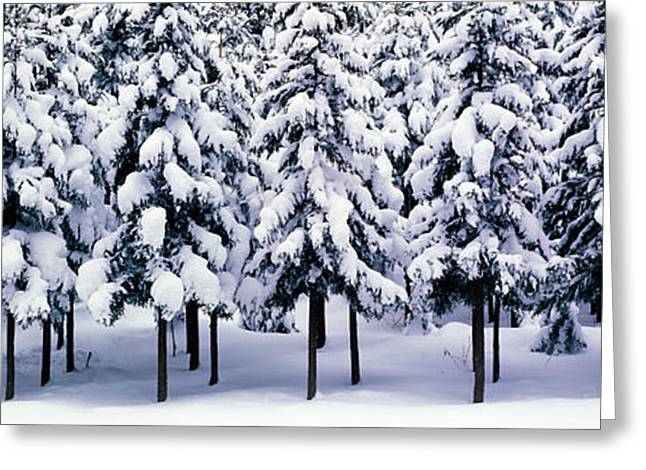 Snow Covered Cedar Trees Kyoto Hanase Greeting Card by Panoramic Images