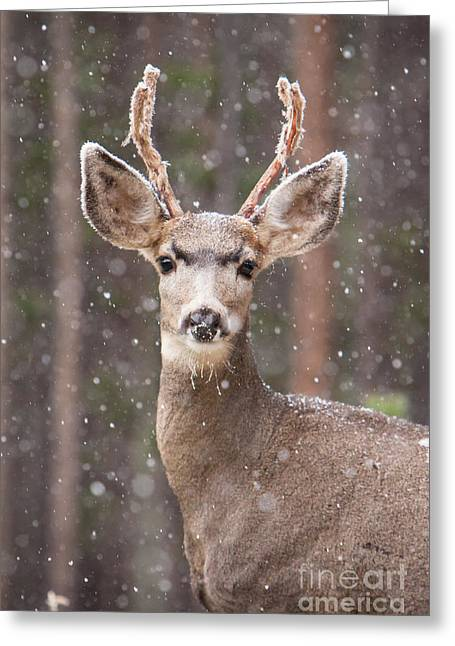 Greeting Card featuring the photograph Snow Deer 1 by John Wadleigh