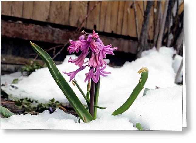 Snow Flower Greeting Card by Fiona Kennard