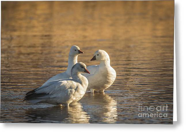 Snow Geese 3 Greeting Card by Mitch Shindelbower