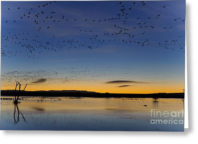 Snow Geese And Marsh Pond At Sunrise Greeting Card by John Shaw