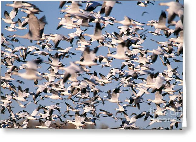Snow Geese And Sandhill Cranes Greeting Card by Art Wolfe