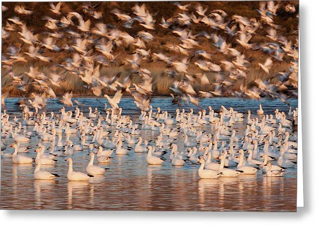 Snow Geese, Bosque Del Apache National Greeting Card by Art Wolfe