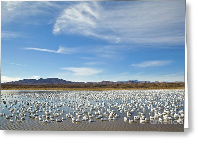 Snow Geese Bosque Del Apache  Greeting Card by Yva Momatiuk John Eastcott