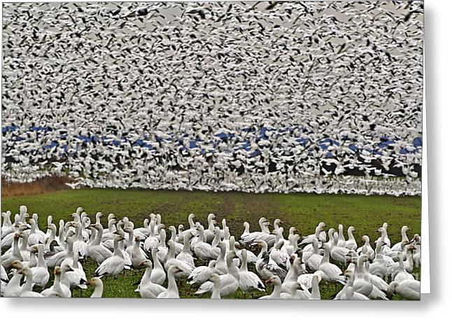 Greeting Card featuring the photograph Snow Geese By The Thousands by Valerie Garner