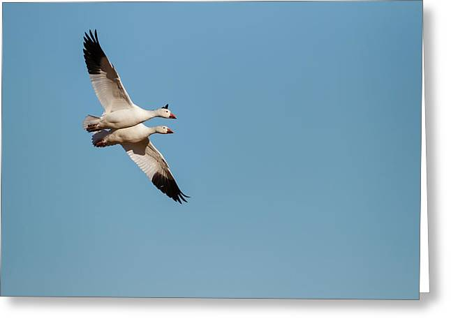 Snow Geese (chen Caerulescens Greeting Card by Larry Ditto