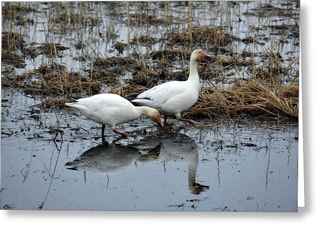 Snow Geese  Greeting Card