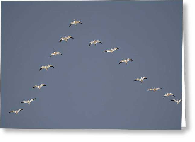 Snow Geese Flying In V Formation Greeting Card