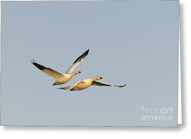 Snow Geese Greeting Card by John Shaw