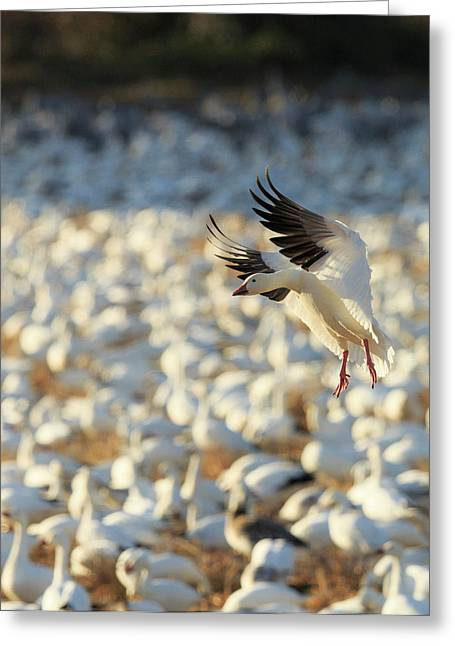 Snow Geese Landing In Corn Fields, Chen Greeting Card by Maresa Pryor