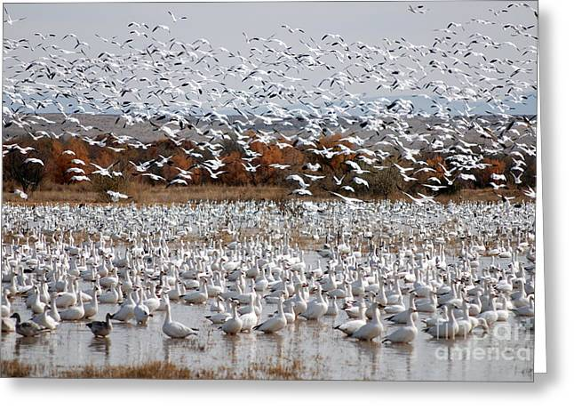 Snow Geese No.4 Greeting Card