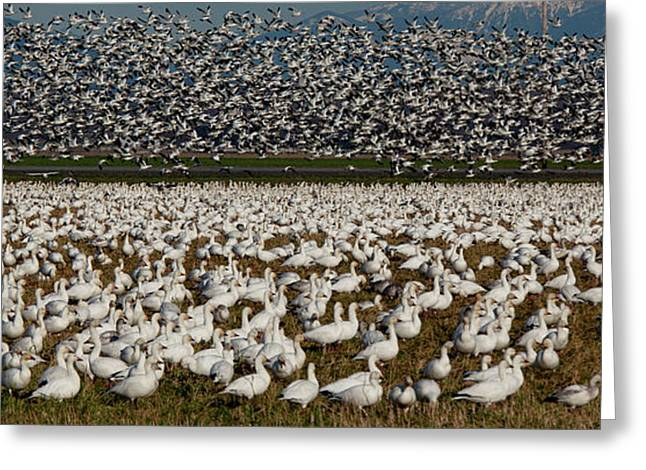 Snow Geese, Skagit Valley, Washington Greeting Card by Art Wolfe