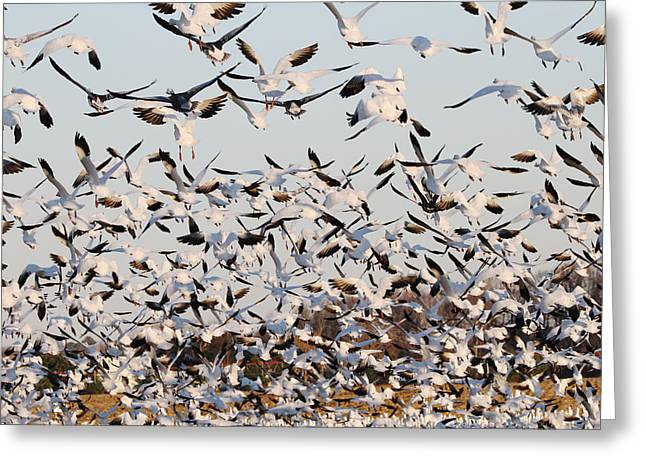 Snow Geese Takeoff From Farmers Corn Field. Greeting Card by Allan Levin