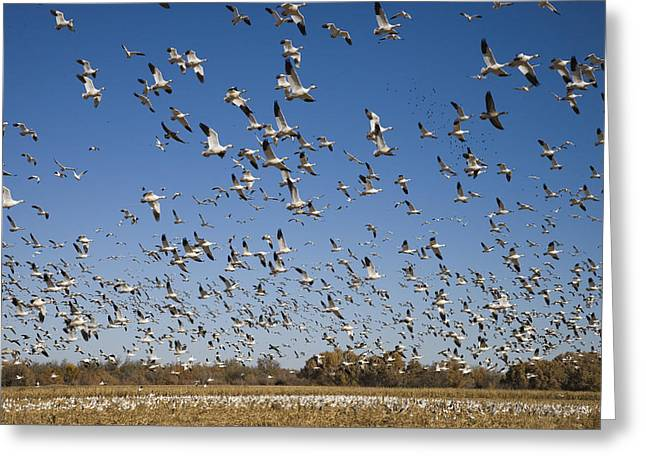 Snow Geese Taking Flight Bosque Del Greeting Card