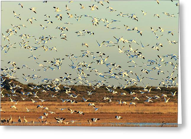 Snow Geese Taking Greeting Card by Maresa Pryor