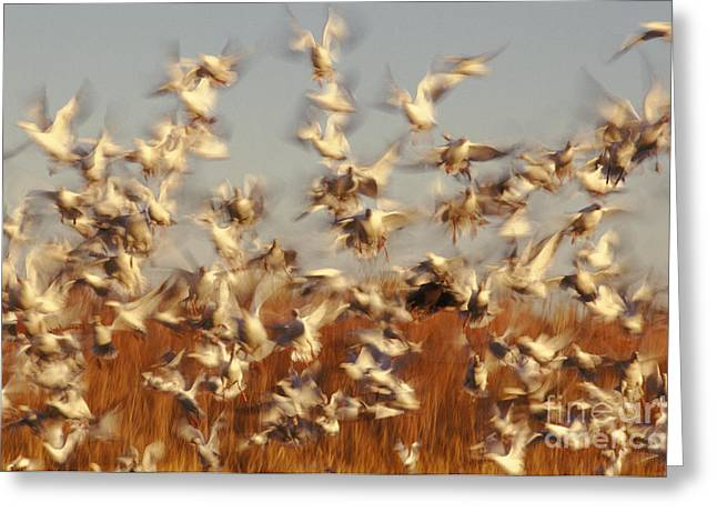 Snow Geese Winter Migration Greeting Card by Ron Sanford