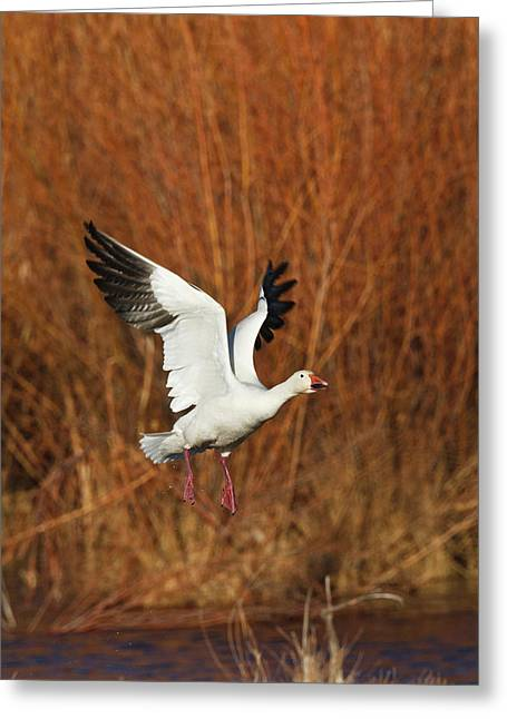 Snow Goose (chen Caerulescens Greeting Card