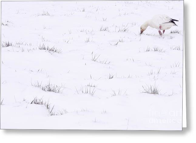 Snow Goose During Migration Greeting Card by Jim Corwin