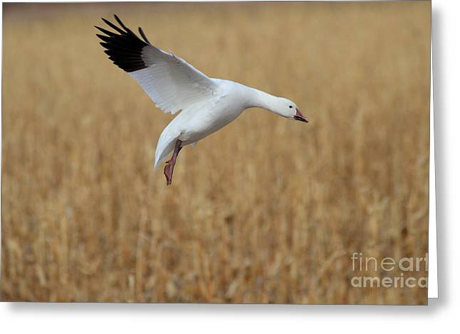 Snow Goose Landing Greeting Card by Ruth Jolly