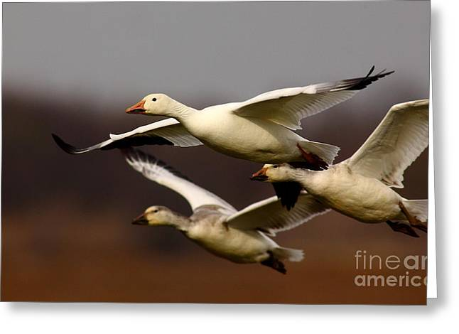 Snow Goose Formation Migration Greeting Card